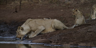 Lion pride at dusk - lionesses drinking, one looks toward camera