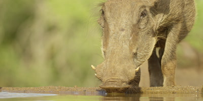 Common warthog - drinking, close up