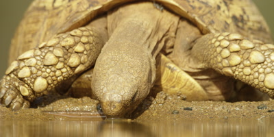 Leopard tortoise - drinking, close shot 2