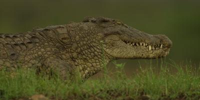 Nile crocodile - on land, eating
