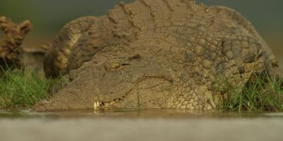 Nile crocodile - huge croc walks toward camera, slides into water