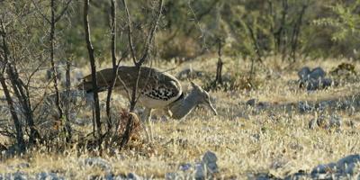 Kori Bustard feeding in a dry rocky landscape