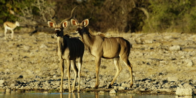 Greater Kudu stand at the edge of a watering hole