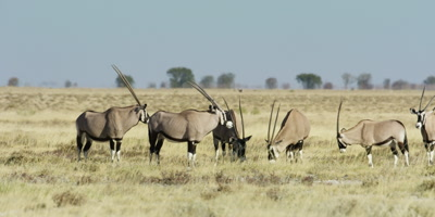 Herd of Gemsbok grazing in the savanna; two Gemsbok get aggressive towards each other