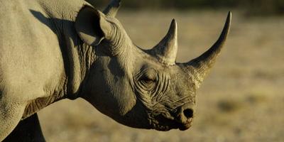 Black Rhinoceros travels across a dry rocky landscape