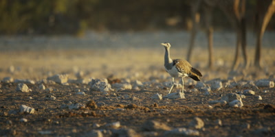 Kori Bustard walking through a dry rocky landscape with Southern Giraffes in the background