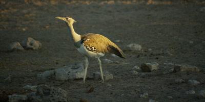 Kori Bustard walking through a dry rocky landscape