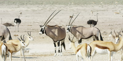 Springbok and Gemsbok mingling in a rocky landscape; Ostriches walk by in the background