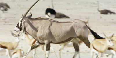 Gemsbok runs through a heard of Springbok; Ostriches rest in the backgrouond