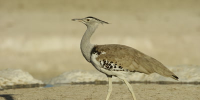 Kori Bustard walks by other animals drinking from a watering hole