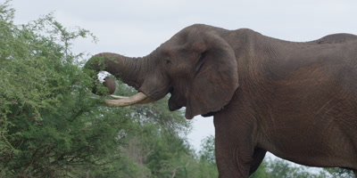 Elephant - walks to thorn tree and starts eating, medium shot