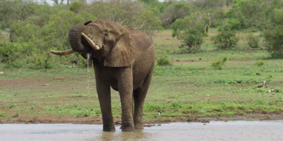 Elephant - drinking from waterhole, facing camera, wide shot