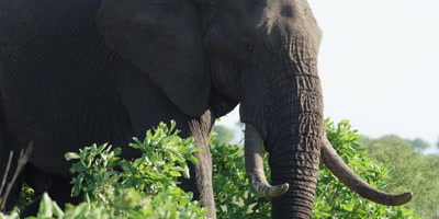 Bull Elephant - walking through the bush, medium shot