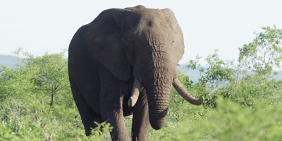Bull Elephant - walking through the bush, medium shot 2