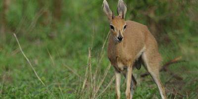 Steenbok in the bush, close shot