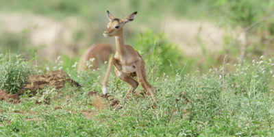Impala - newborn gets up and runs to mother