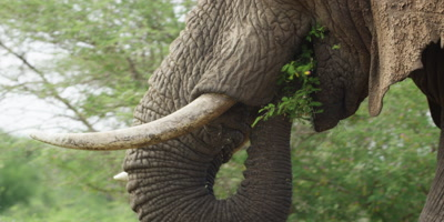 Elephant - eating while walking, close shot