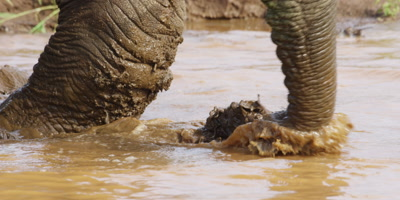 Elephant - walks into water and sprays mud, close up of feet and trunk