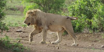Lion - big male walking, tracking shot
