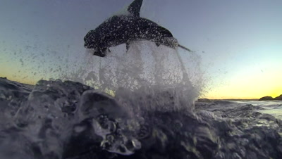 Breaching Great White Stock Footage
