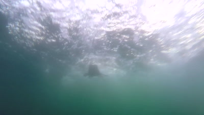 Great White Shark Breach in South Africa From Just Below Surface