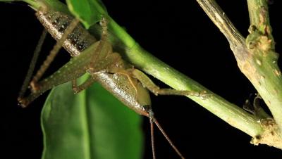 katydid or bush cricket insect