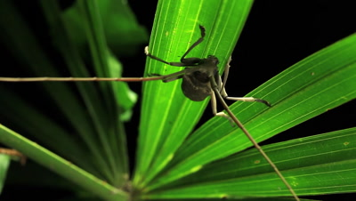 Longhorn beetles are a cosmopolitan family of beetles, typically characterized by extremely long antennae, which are often as long as or longer than the beetle's body
