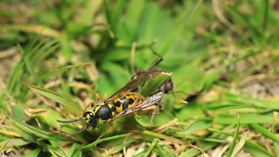 Australian Bull Ant / Bulldog ant (Myrmecia) Vs European Wasp (Vespula germanica). This footage was shot in the Kosciuszko National Park of Australia where the European Wasp is a pest, management of it as an introduced species is in progress as it does not have many predators. The ferocious fight between the two show that they are evenly matched however the cunning nature and sting of the Bull Ant eventually kills the wasp.