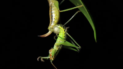 cricket species mate by transferring a spermatophore from male to female. Crickets do their mating in the late summer. They lay their eggs in the fall. The male chirps what is called the calling song. This is to make the female aware of its intention to mate