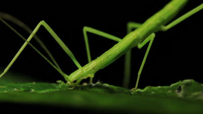 Stick insect (Phasmatodea ) eating raspberry leaf. Stick Insects are also known as a walking sticks or stick-bugs, phasmids, ghost insects, leaf insects.