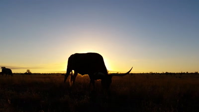 Cattle cow farming Texas Longhorn sunset / sunrise landscape