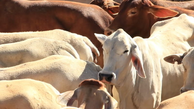 Brahman Beef Cattle Cows in sale yard pens waiting for live export