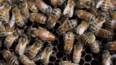 Queen bee macro footage. A honey bee or honeybee, in contrast with the stingless honey bee, is any member of the genus Apis and lives in a bee hive. The apiarist or beekeeper operates the beehives to produce honey and related products such as beeswax.