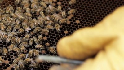 Honey bee hive pests and diseases. Honey bees may be affected by a range of pests and diseases including, American foulbrood, European foulbrood, Chalkbrood disease, Small hive beetle, Varroa, Nosema disease.