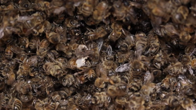 Dead  bee in Honey bees hive, may be affected by a range of pests and diseases including, American foulbrood, European foulbrood, Chalkbrood disease, Small hive beetle, Varroa, Nosema disease.