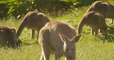 The kangaroo wallaby roo is one of Australia's most iconic marsupial animals, and most species are endemic to Australia. Kangaroos eating grass in the afternoon sunlight by coastal beach landscape.