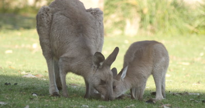 Joey Kangaroo Wallaby Marsupial Animal Australia. The Joey kangaroo wallaby roo is one of Australia's most iconic marsupial animals, and most species are endemic to Australia. Kangaroos eating grass in the afternoon sunlight by coastal beach landscape.