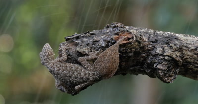 Gecko in rain wet weather of rainforest. Broad-tailed Gecko or Southern Leaf-tailed Gecko (Phyllurus platurus) is a common gecko found in the Sydney Basin.  The large tail of the gecko lizard reptile is used as a decoy, to prevent predation. The tail is also useful for fat storage.