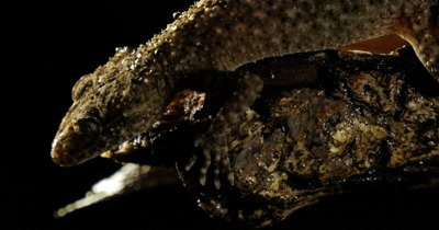 Broad-tailed Gecko or Southern Leaf-tailed Gecko (Phyllurus platurus) is a common gecko found in the Sydney Basin.  The large tail of the gecko lizard reptile is used as a decoy, to prevent predation. The tail is also useful for fat storage. Gecko was filed after and during rain.