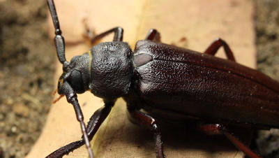 The longhorn beetles (Cerambycidae; also known as long-horned beetles or longicorns) are a cosmopolitan family of beetles.