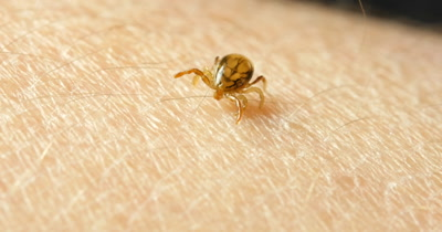 Ticks are small arachnids, part of the order Parasitiformes. Along with mites, they constitute the subclass Acari. Ticks are ectoparasites, living by hematophagy on the blood of mammals.