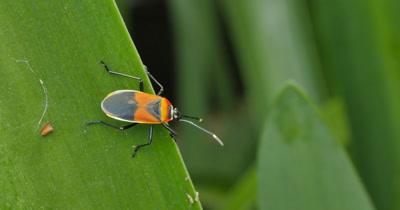 Bug Insect Macro - Largid Bugs - Family Largidae