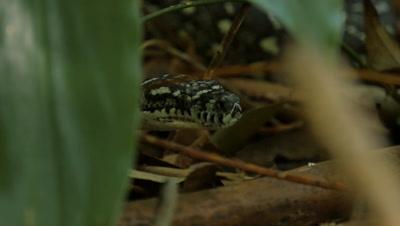 Snake in undergrowth (1 of 2) Diamond Python non-venomous snake reptile found in eastern Australia - (Morelia spilota spilota)