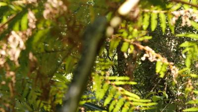Snake in tree fern (1 of 21) - Diamond Python non-venomous snake reptile found in eastern Australia - (Morelia spilota spilota) is a subspecies of Carpet Python (Morelia spilota)