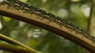 Snake in tree fern (6 of 21) - Diamond Python non-venomous snake reptile found in eastern Australia - (Morelia spilota spilota) is a subspecies of Carpet Python (Morelia spilota)