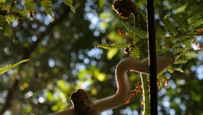 Snake in tree fern (9 of 21) - Diamond Python non-venomous snake reptile found in eastern Australia - (Morelia spilota spilota) is a subspecies of Carpet Python (Morelia spilota)