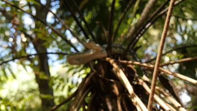 Snake in tree fern (15 of 21) - Diamond Python non-venomous snake reptile found in eastern Australia - (Morelia spilota spilota) is a subspecies of Carpet Python (Morelia spilota)