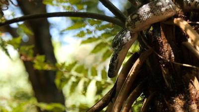 Snake in tree fern (16 of 21) - Diamond Python non-venomous snake reptile found in eastern Australia - (Morelia spilota spilota) is a subspecies of Carpet Python (Morelia spilota)