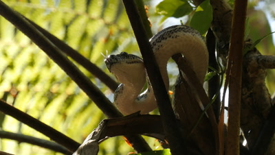Snake in tree fern (17 of 21) - Diamond Python non-venomous snake reptile found in eastern Australia - (Morelia spilota spilota) is a subspecies of Carpet Python (Morelia spilota)