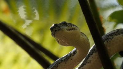 Snake in tree fern (18 of 21) - Diamond Python non-venomous snake reptile found in eastern Australia - (Morelia spilota spilota) is a subspecies of Carpet Python (Morelia spilota)